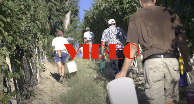Marotti Campi first day Harvest 2020 Verdicchio